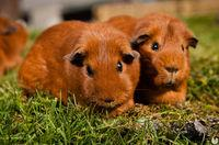 Claim the creator of Stardew Valley the game to give better treatment to guinea pigs
